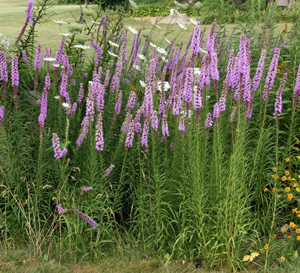 Liatris produces tall spikes of purple flowers in late summer.