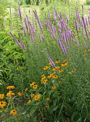 Liatris can be used in borders or informal meadow plantings.