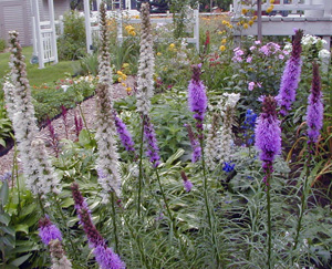 There are both white and purple varieties of Liatris available commercially.