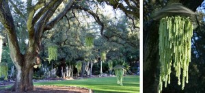 Live oak in the main lawn area of Lotusland with hanging baskets (L) of burro-tail sedum, Sedum morganianum (R).