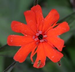 L. ×arkwrightii 'Vesuvius' flower.