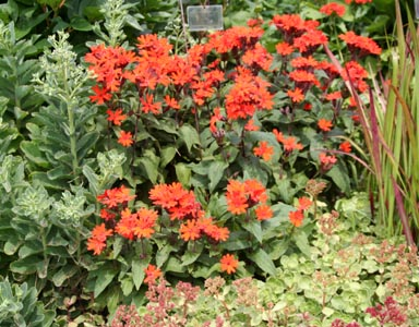 Lychnis ×arkwrightii 'Vesuvius' amid other perennials.