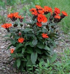Lychnis ×arkwrightii 'Vesuvius' – Master Gardener Program
