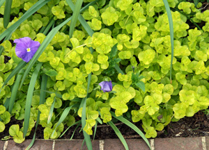 The leaves of golden creeping jenny are chartruese when grown in shade, but are more golden in full sun.