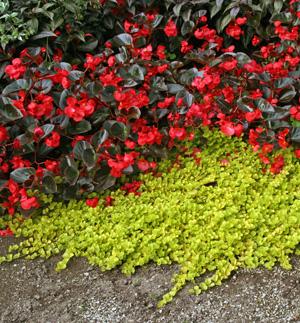 Lysimachia nummularia Aurea with red-flowered begonia.