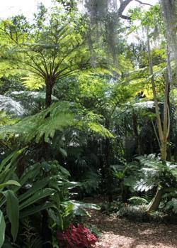 Tree ferns in the Fern Garden.