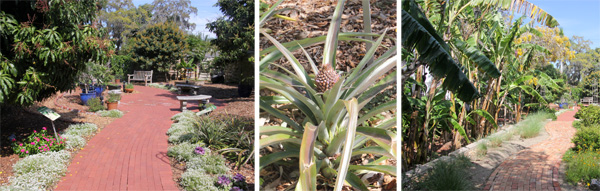 The tropical fruit garden (L) with a wild pineapple (C) and plantain or banana trees (R).