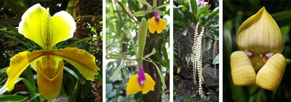 Orchids in the conservatory: Paphiopedilum (Belisaire Plutons x Robin l. Hall Lucerne) (L); Epicattleya Renee Marques Tyler (LC); Dendrochilum cobbianum (RC); and Trigonidium egertonianum (R).