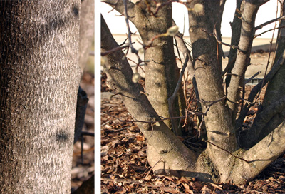 The silvery gray bark on a main trunk (L) and a multi-branched trunk (R).