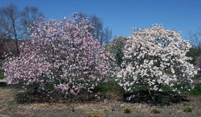Dwarf Magnolia Bush