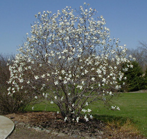 Star Magnolia Magnolia Stellata Master Gardener Program