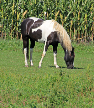 Fresh horse manure often contains lots of weed seeds.