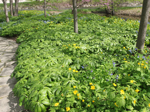 Mayapple is often grown as an ornamental in woodland or native plant gardens.