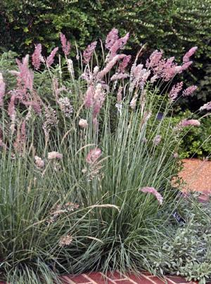 Ruby Grass Melinus Nerviglumis Master Gardener Program