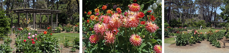 The dahlia garden at the beginning of bloom