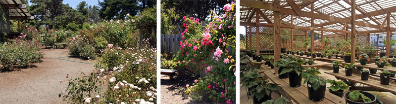 The heritage rose collection (L and C); potted begonias inside the Mae E. Lauer Display house.