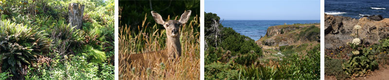 Ferns in Fern Canyon (L); a mule deer (LC); the Pacific Ocean can be glimpsed along some of the trails (RC); native flowers growing on the cliffs overlooking the Pacific Ocean (R).