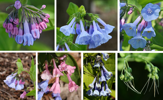 Buds and flowers of Mertensia virginica.