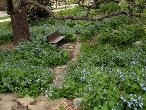 Virginia bluebells naturalize easily in shady gardens.