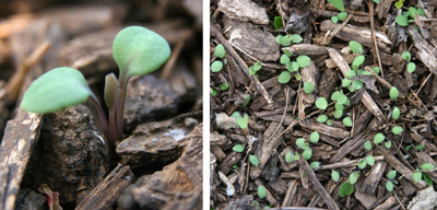 Seedlings have two bright green cotyledons and the first true leaf grows opposite those.
