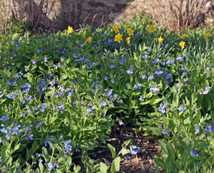 Virginia bluebells and daffodils blooming in spring.