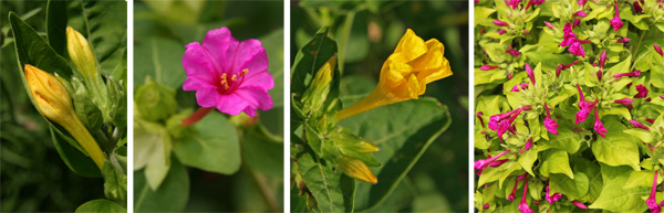 The flower buds (L), open flower (LC), fading flower in the morning (RC), and plant with many spent flowers (R).