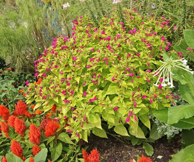 Four oclocks mirabilis jalapa master gardener program magenta four oclocks blooming in a garden mightylinksfo