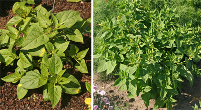 The shrub-like plants have medium green foliage.