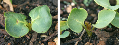 Seedlings of Mirabilis jalapa (L) and with first true leaves (R).