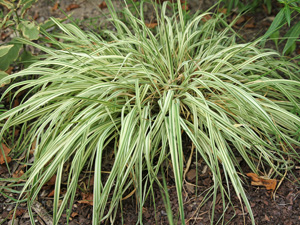 Variegata forms dense clumps with variably striped foliage.