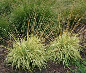 The cultivar Variegata is a superior selection of purple moor grass, Molinia caerulea.