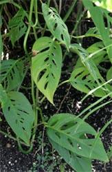 M. obliqua has smaller leaves than M. deliciosa.