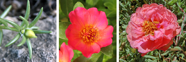 The solitary flowers open from small buds (L) and may be single (C) or double (R).