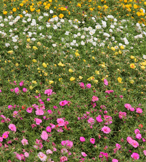 Use moss rose as a ground cover for hot areas.