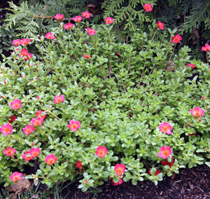 A moss rose with flat leaves.