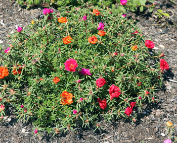 Plant moss rose in full sun.