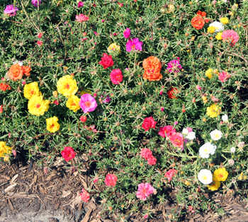 Moss rose, Portulaca grandiflora, is a heat tolerant annual.