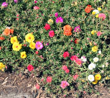 Moss rose, Portulaca grandiflora, is a heat tolerant annual.