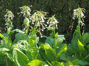 Nicotiana sylvestris flowering.