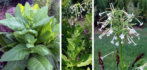 Nicotina sylvestris producing a central flower spike (L) and blooming (C and R).