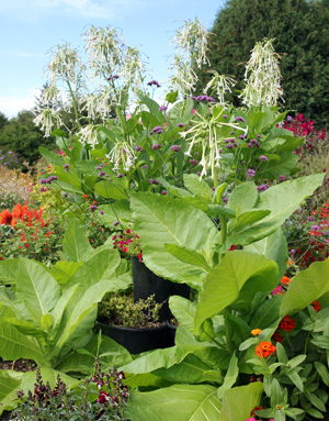 The large leaves of Nicotiana sylvestris provide textural contrast in the garden.