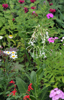 Flowering tobacco is a nice addition to any annual garden.