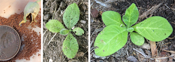 Nicotiana sylvestris produces copious amounts of tiny seed (L) to produce many seedlings (C). Young plant (R).