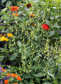 N. langsdorffii combines well with many other annuals.