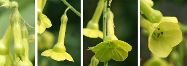 Flower buds (L), open flowers (CL and CR) and end of flower showing dark colored anthers (R).