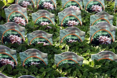 Oregano is commonly available as small plants in the spring.