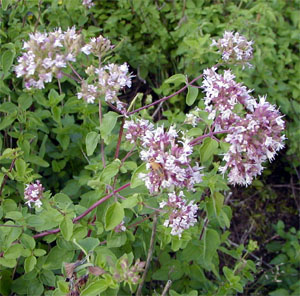 Oregano flowers in mid-summer.