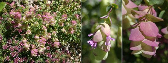 Origanum libanoticum plant (L) and flowers.