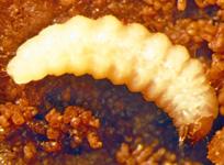 Plum curculio larva