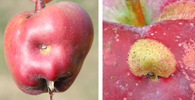 Plum curculio egg laying scars on apple